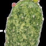 Opuntia cochenillifera 'Sunburst' variegata