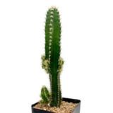 """Acanthocereus tetragonus variegata """"Fairy Castle"""""""