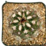 "Echinocereus reichenbachii ""Lace Hedgehog Cactus"""