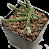 Avonia papyracea subs. namaensis