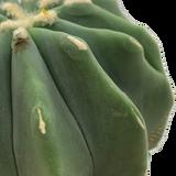 Ferocactus glaucescens f. inermis