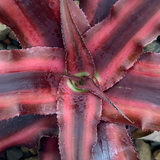 Cryptanthus bivittatus