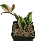 Hoya carnosa tricolor variegata