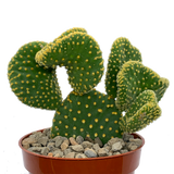 Opuntia microdasys f. cristada