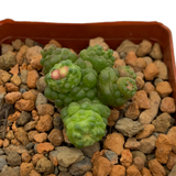 Mammillaria bocasana monstrose 'Fred'