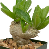 Pachypodium brevicaule grafted