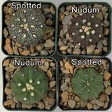 Astrophytum asterias hybrids