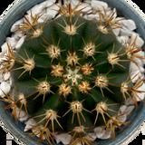 Melocactus zehntneri