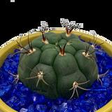 Gymnocalycium riograndense