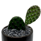 Opuntia decumbens