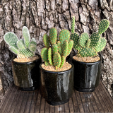 Opuntia 3-Pack Kit