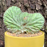 Polaskia chichipe f. cristata