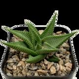 Haworthia limifolia 'Gollel'