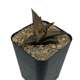 "Haworthiopsis ssp tessellata ""Neat"""