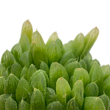 Haworthia obesa 'Fort Brown'