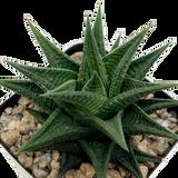 Haworthiopsis limifolia x attenuata