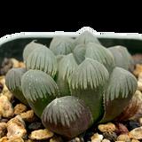 Haworthia obtusa OBX-1