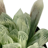 Haworthia cooperi var. gracilis white variegate