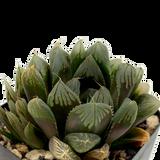 Haworthia purple obtusa hybrid