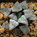 Haworthia emelyae hybrid