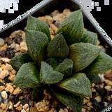 Haworthia 'Sugar Plum'