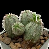 "Euphorbia obesa hybrid ""Taku Jo"""