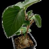 Ficus palmeri