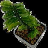 Pedilanthus tithymaloides 'devils backbone'