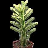 Opuntia subulata variegata