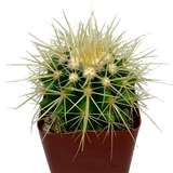 Echinocactus grusonii 'golden barrel'