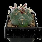 thelocactus hexaedrophorus