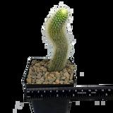 "Cleistocactus winteri subs. colademononis ""Monkey's Tail"" [Small]"