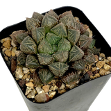 "Haworthia obtusa hybrid ""Mirror Ball"""