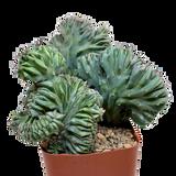 """Myrtillocactus geometrizans f. cristata """"Elite"""""""