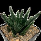 Gasteraloe beguinii
