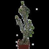Euphorbia genoudiana