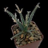 """Leuchtenbergia principis """"Agave Cactus"""""""