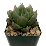 Haworthia obtusa hybrid C