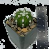 Echinopsis subdenudata 'Fuzzy Navel'