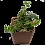 "Callisia navicularis ""Chain Plant"""