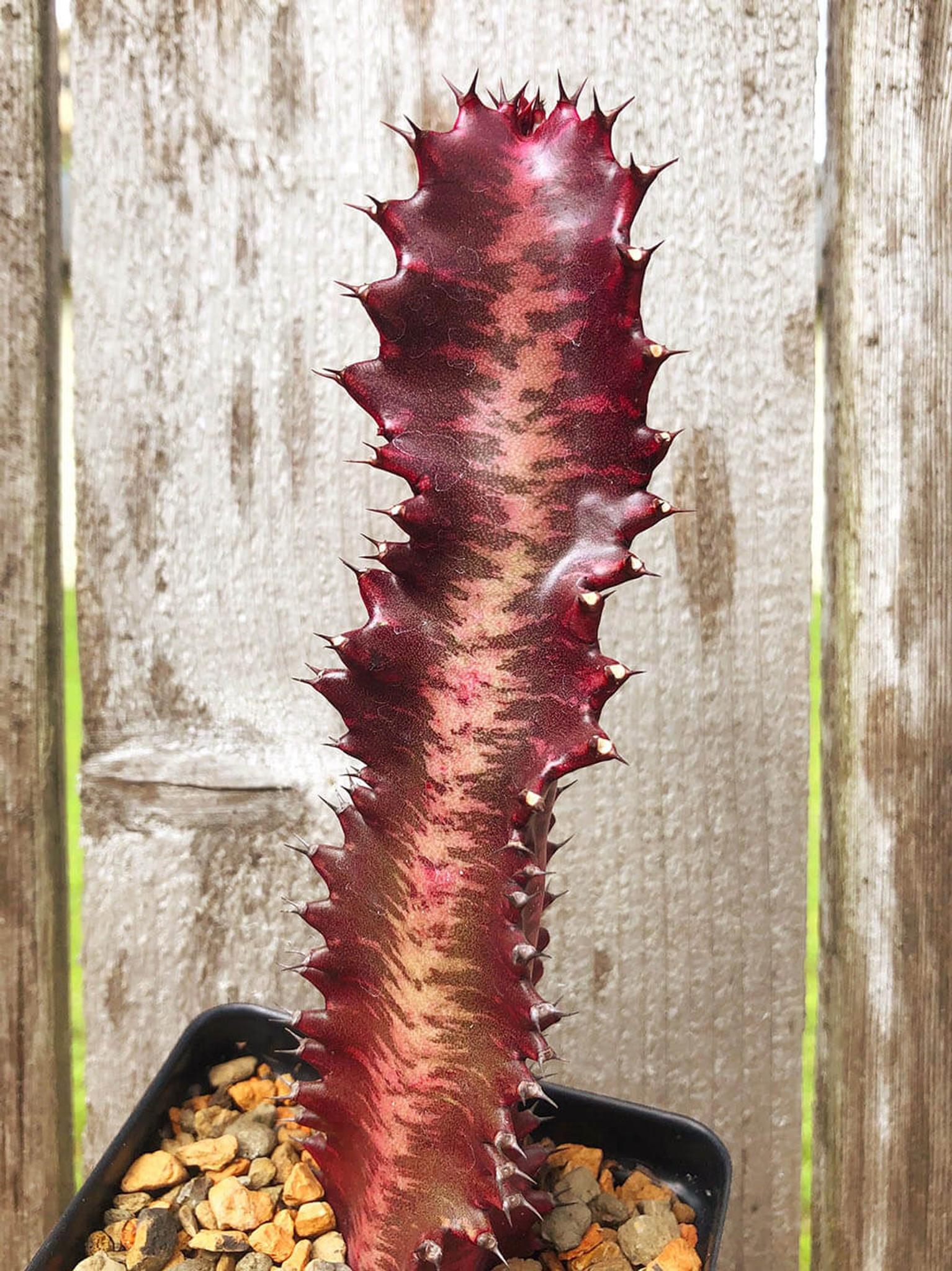 Euphorbia trigona monstrose 'Twisted Rubra'