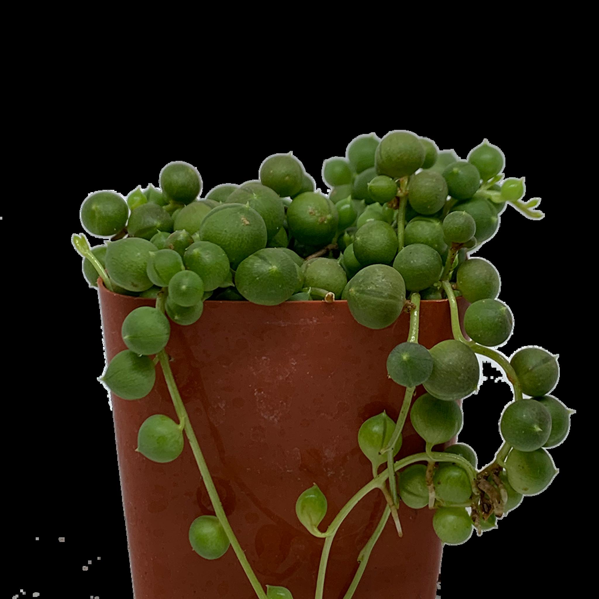 String of Pearls (Senecio rowleyanus) [small]