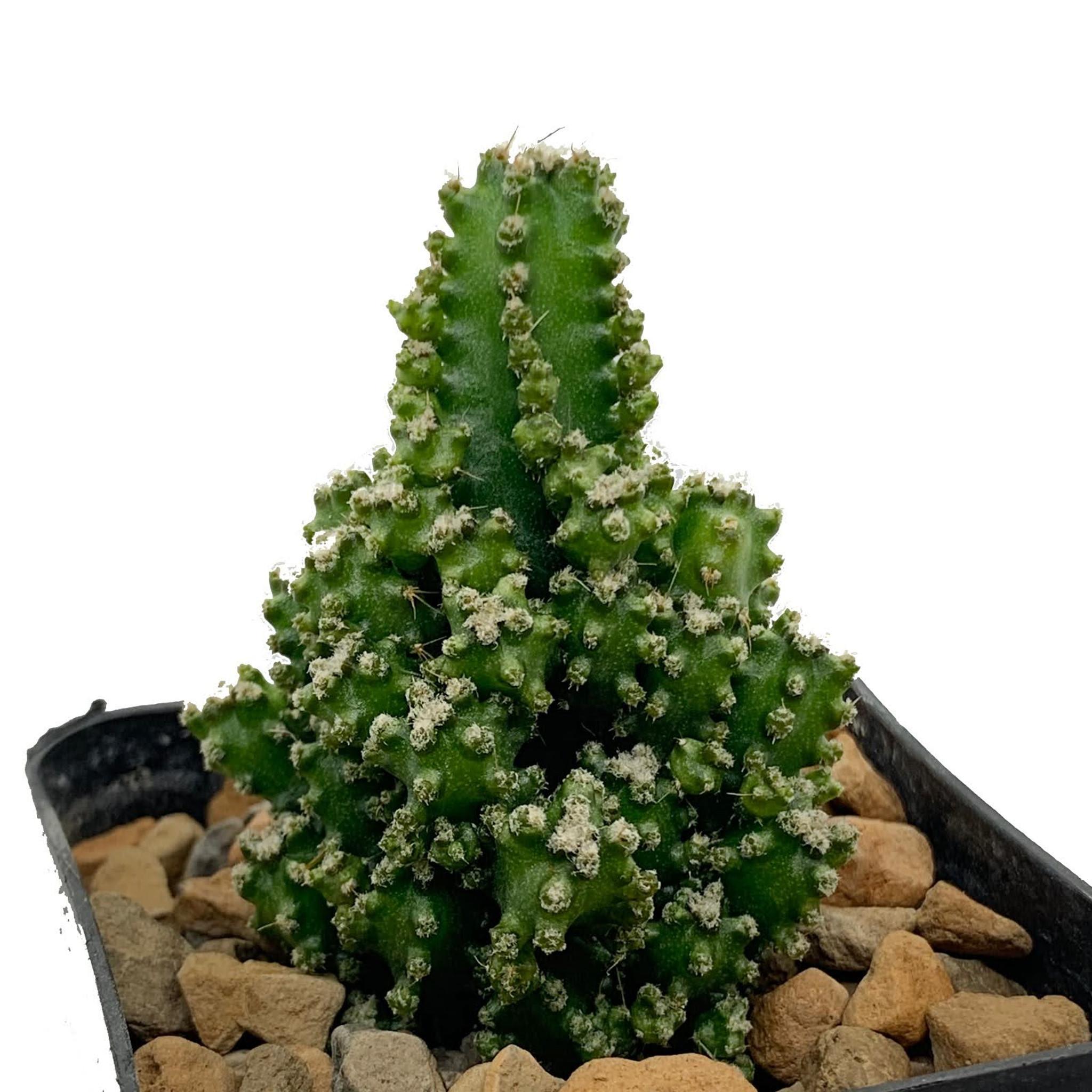 "Acanthocereus tetragonus (dwarf form) ""Fairy Castle"""