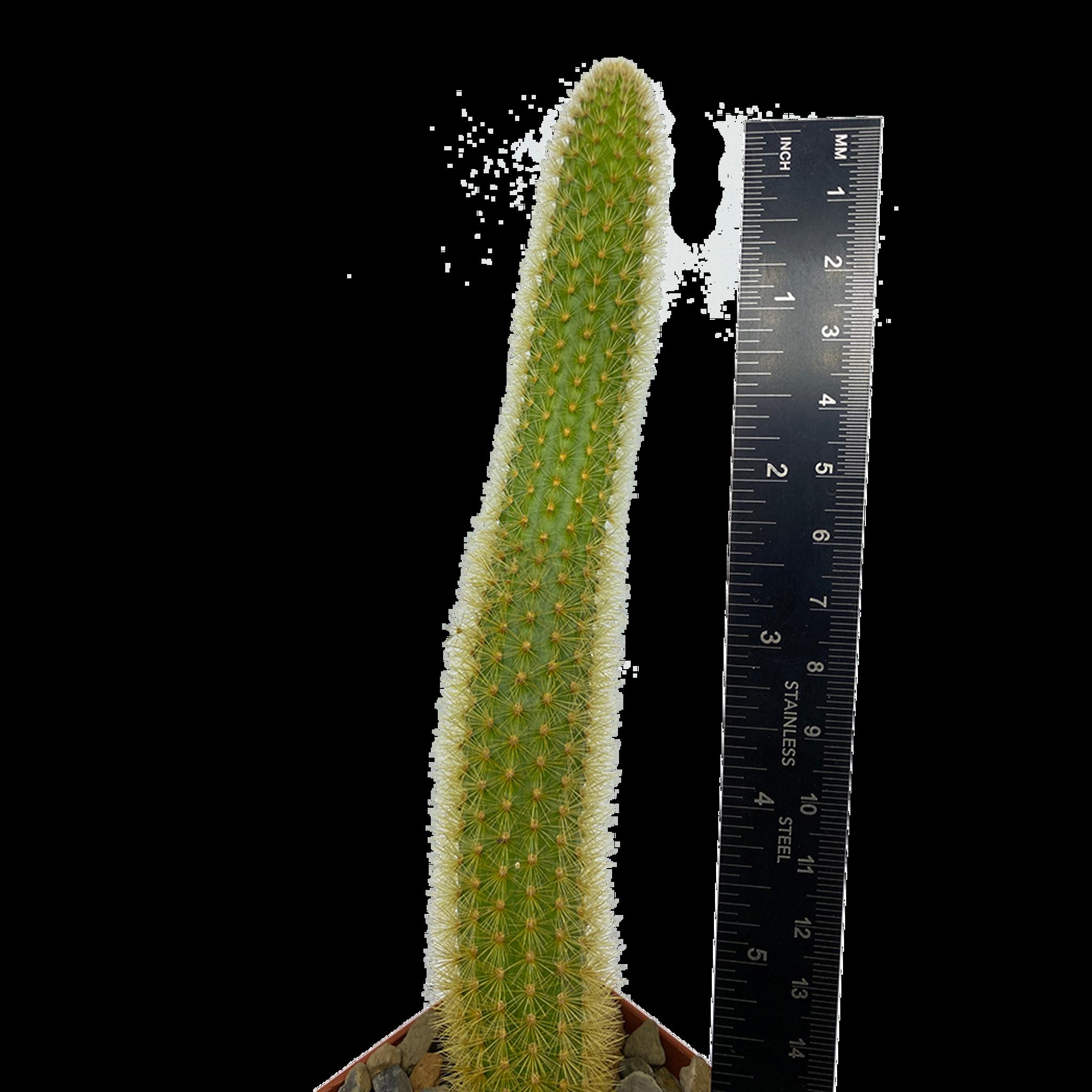 Cleistocactus winteri 'Golden Rat Tail'