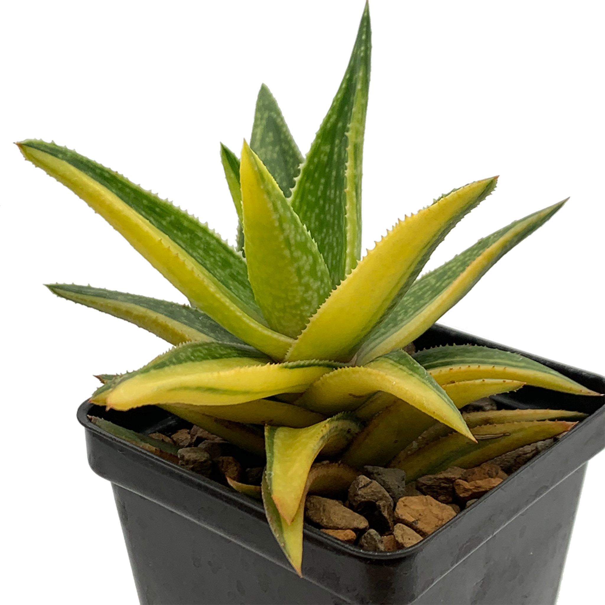 Aloe 'Hummels Cup of Gold'