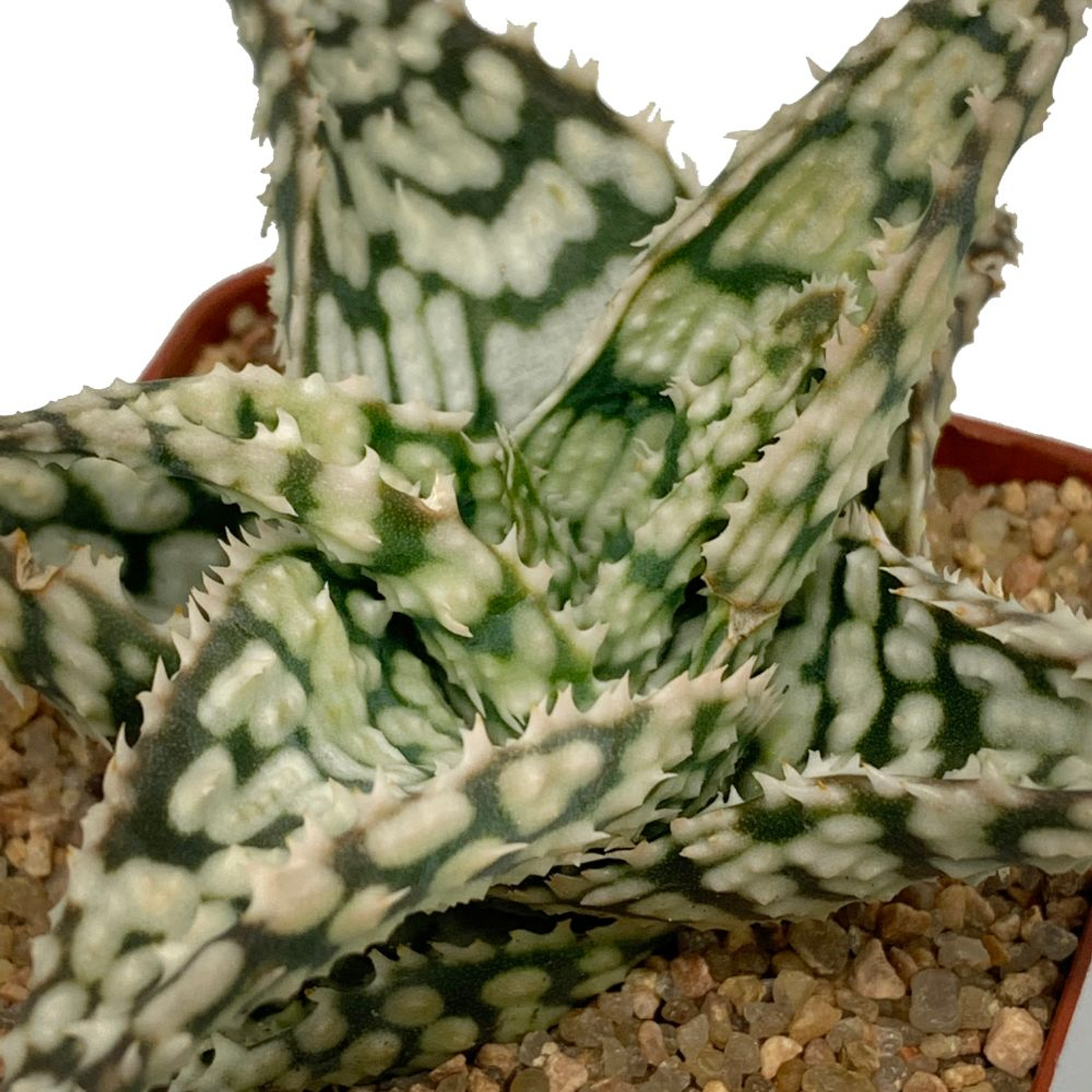 Aloe 'Snowstorm'