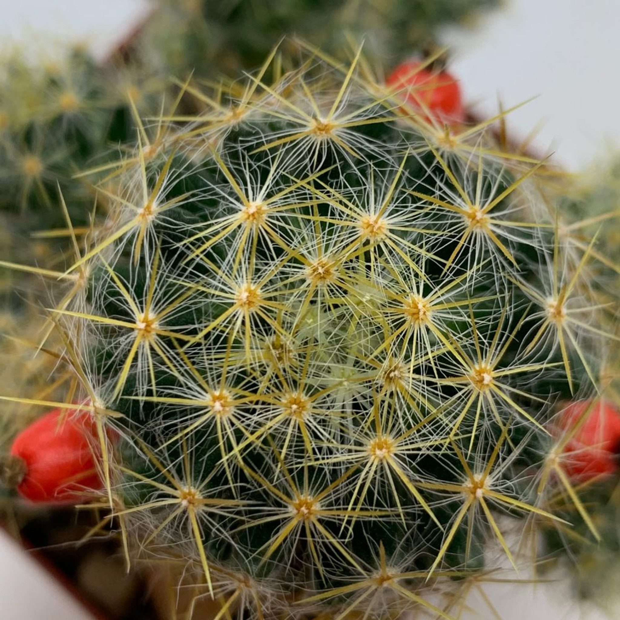 Mammillaria prolifera 'Texas Nipple Cactus'