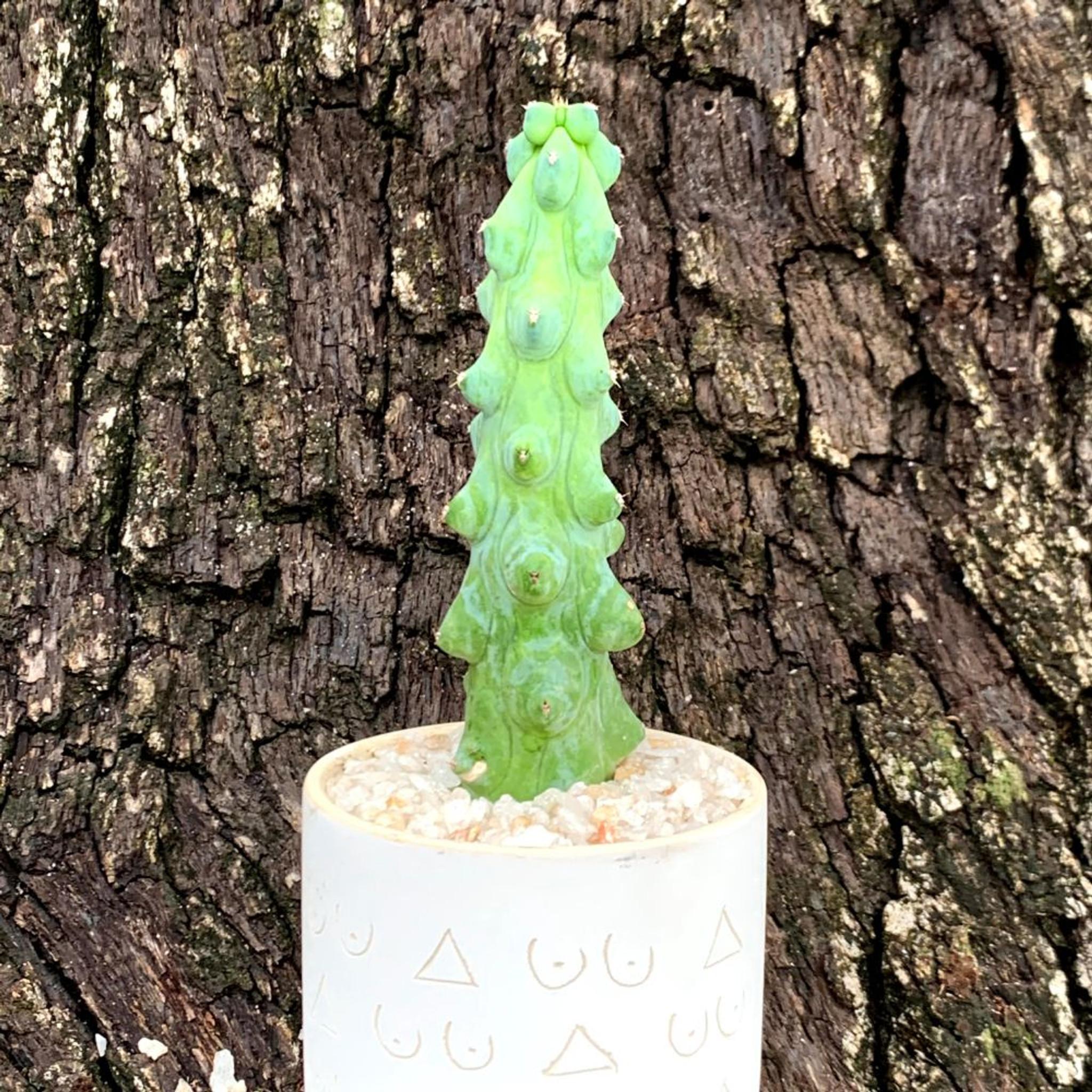 Mini Titty Planter with Medium Titty Cactus