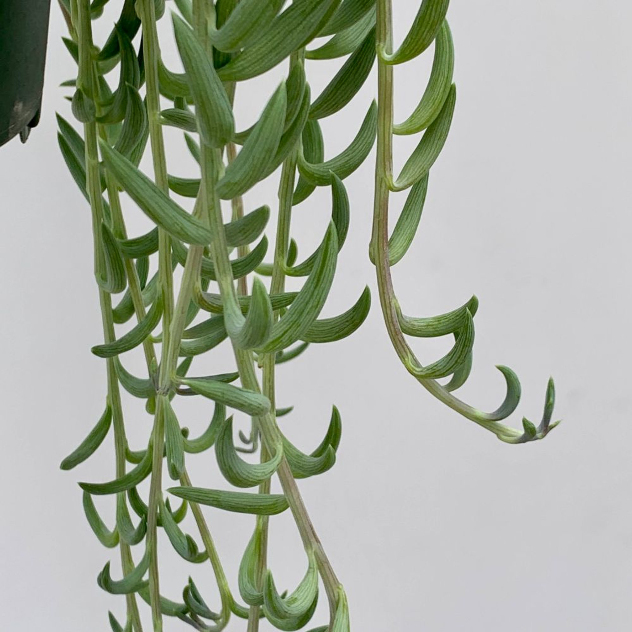 'Fish Hook' (Senecio radicans) [XL]