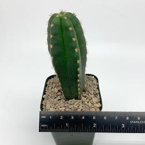 Trichocereus colossus x scopulicola